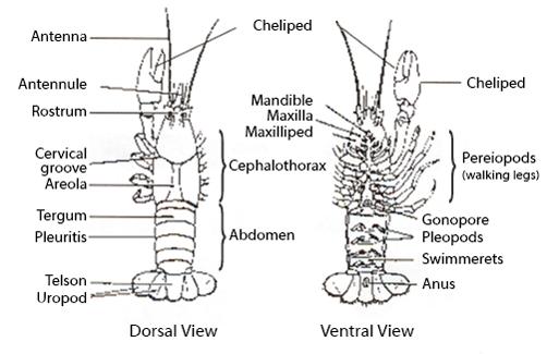 Diagram Of Crayfish - Data Wiring Diagrams •